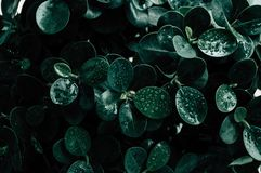 Зеленые лист с предпосылкой падения воды стоковая фотография