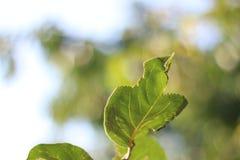 Зеленые лист с сухой подсказкой стоковые изображения rf