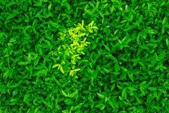 Зеленые лист /Green выходят предпосылка или естественно огораживает идеал текстуры для пользы в дизайне справедливо Стоковые Фотографии RF