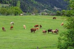 Зеленые луга, лошади, коровы, овцы Стоковые Изображения