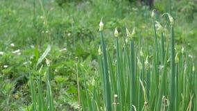 Зеленые луки в саде сток-видео