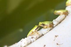 Зеленые лягушки целуя в озере Стоковые Изображения