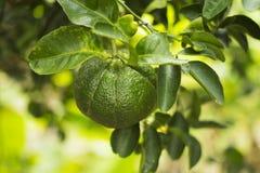 Зеленые мандарины растут на дереве стоковые фотографии rf