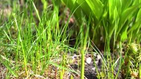 Зеленые молодые цветки и папоротник пошатывают весной ветер в саде видеоматериал