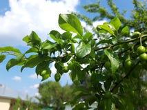 Зеленые незрелые плоды вишен на ветви стоковые фотографии rf