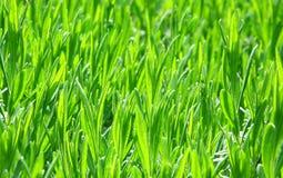 зеленые новые всходы стоковое изображение rf