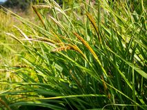 Зеленые одичалые тростники в поле стоковая фотография rf