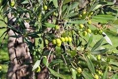 Зеленые оливки в ветви оливкового дерева Оливковое дерево с зелеными оливками, конец вверх Концепция оливок, традиция Стоковая Фотография