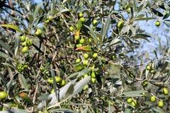 Зеленые оливки в ветви оливкового дерева Оливковое дерево с зелеными оливками, конец вверх Концепция оливок, традиция Стоковая Фотография RF