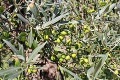 Зеленые оливки в ветви оливкового дерева Оливковое дерево с зелеными оливками, конец вверх Концепция оливок, традиция Стоковое Изображение RF