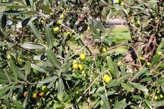 Зеленые оливки в ветви оливкового дерева Оливковое дерево с зелеными оливками, конец вверх Концепция оливок, традиция Стоковое фото RF