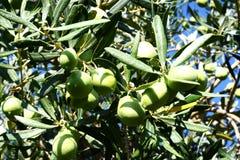 Зеленые оливки в ветви оливкового дерева Стоковые Фото