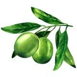 Зеленые оливки при изолированные листья, объект для комплексного конструирования, иллюстрации акварели на белизне иллюстрация вектора