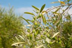 зеленые оливки стоковое изображение