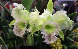 зеленые орхидеи Стоковые Изображения