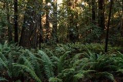 Зеленые папоротники среди деревьев на бульваре Giants, Калифорния, США стоковое изображение rf