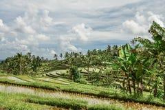 Зеленые поля риса на острове Бали Стоковая Фотография