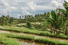 Зеленые поля риса на острове Бали Стоковые Изображения RF