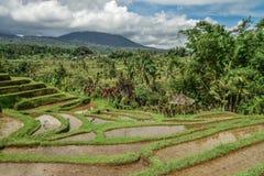 Зеленые поля риса на острове Бали Стоковое Фото
