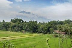 Зеленые поля риса с горным видом стоковое фото rf