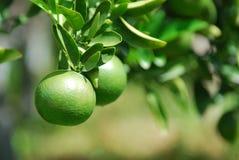 Зеленые померанцы Стоковое Фото