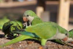зеленые попыгаи Стоковая Фотография RF