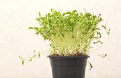Зеленые прорастанные ростки cilantro с семенами в баке на светлой предпосылке стоковые фото