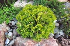 Зеленые пушистые ветви туи, селективный фокус Стоковое Изображение RF