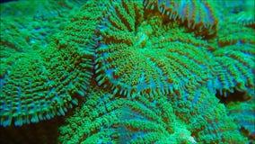 Зеленые пушистые кораллы гриба видеоматериал