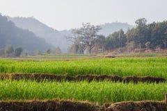 Зеленые пшеничное поле и лес Непала стоковое фото rf