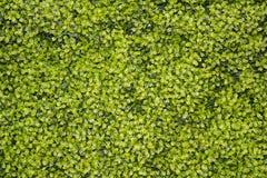 Зеленые растения растя вверх предпосылка стены Стоковая Фотография RF