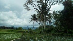 Зеленые рисовые поля после обеда стоковое фото