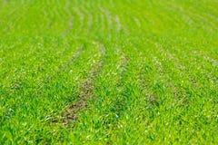 Зеленые ростки пшеницы в поле стоковые изображения rf