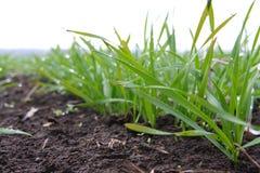 Зеленые ростки пшеницы Стоковые Изображения