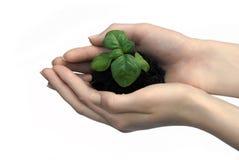 зеленые ростки рук Стоковые Изображения RF