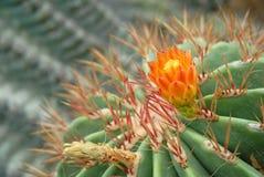 Зеленые сад кактуса и цветок кактуса Стоковые Фото