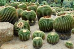 Зеленые сад кактуса и цветок кактуса Стоковое Изображение RF