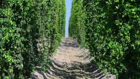 Зеленые свежие конусы хмеля для делать конец-вверх пива и хлеба Аграрная предпосылка акции видеоматериалы