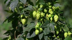 Зеленые свежие конусы хмеля для делать конец-вверх пива и хлеба Аграрная предпосылка видеоматериал
