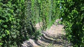Зеленые свежие конусы хмеля для делать конец-вверх пива и хлеба Аграрная предпосылка сток-видео