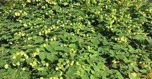 Зеленые свежие конусы хмеля для делать крупный план пива и хлеба, аграрную предпосылку Зеленые ветви хмеля Стоковые Фотографии RF