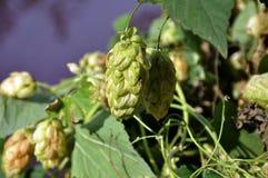 Зеленые свежие конусы хмеля для делать крупный план пива и хлеба Стоковые Фотографии RF