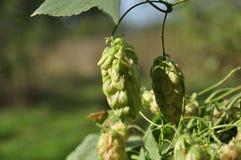 Зеленые свежие конусы хмеля для делать крупный план пива и хлеба Стоковые Фото