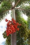 зеленые семена красного цвета plam Стоковые Фотографии RF