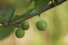 Зеленые сливы на дереве Стоковое фото RF