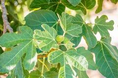 Зеленые смоквы на вале в солнечном дне Смоковница Зрелая смоква приносить на ветви дерева Зеленые смоквы в солнечном дне Растущая Стоковое Фото