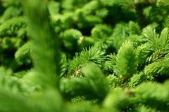 зеленые сосенки Стоковое Фото