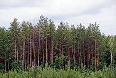Зеленые сосны на краю леса на заднем плане облаков Стоковые Фотографии RF