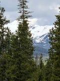Зеленые сосны перед снежной горой Стоковые Изображения