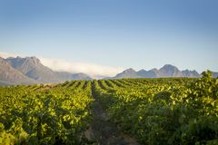 Зеленые строки виноградника против голубого неба с горами и облаками стоковые фото